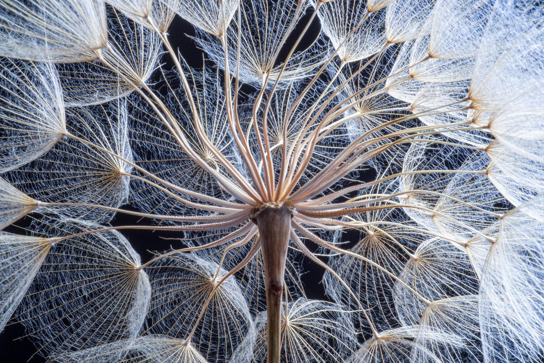 Pusteblume die eine Pillar-Cluster-Struktur darstellt